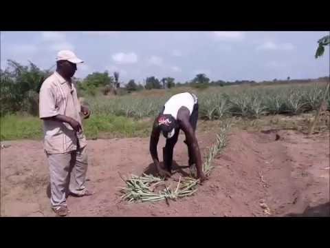 Planteurs ananas