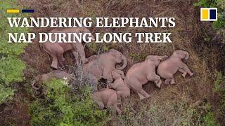 China's wandering elephants need a nap amid 500km trek