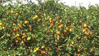 Orange Grove in Florida - REAL USA Ep. 28