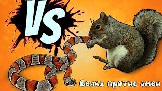 5 Сумасшедших битв животных снятых на камеру - Белка против змеи