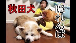 grandchild and #GermanShepherd dog#Akita Inu #JAPANESEAKITA #大型犬...