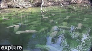 Фото Above Water Manatee-cam At Blue Spring State Park Powered By Explore.org