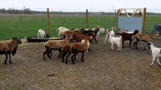 Organic Goat Farming in Texas | obafarms.weebly.com