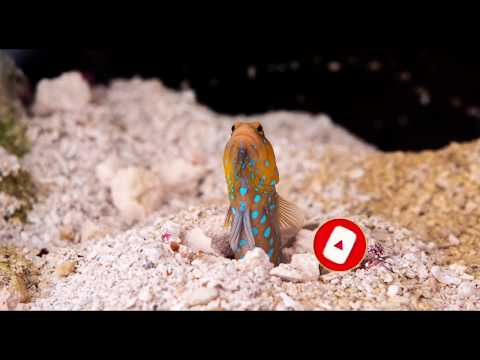 FEEDING MY BLUE Spotted Jawfish ~ Greenhorn Reefer
