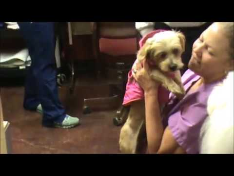 Elsie aka Little Bit - Adoptable Silky Terrier Mix
