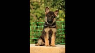 Фотографии щенков немецкой овчарки