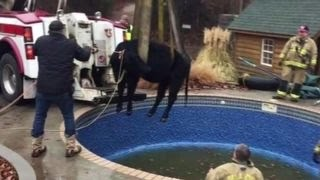 Large cow trapped in pool rescued by firefighters