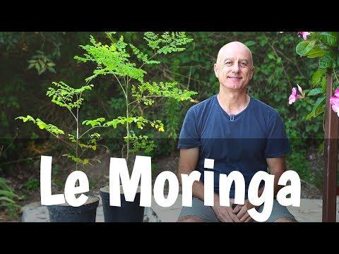 Moringa : prévention des maladies chroniques dégénératives