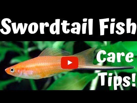 Swordtail Fish Care Tips (2)