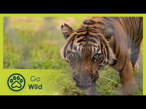 Sumatras Last Tigers - The Secrets of Nature