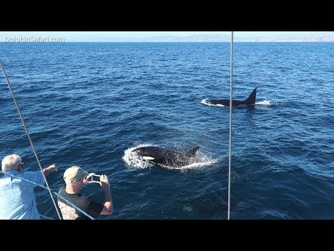 Rare Eastern Tropical Pacific Orcas Return to Dana Point. 4th Killer Whale Sighting in a Week!