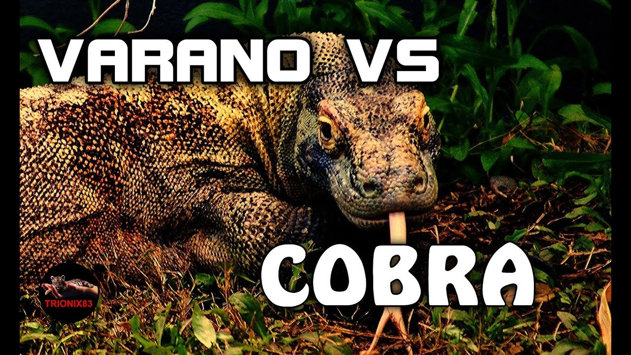 KOMODO VS COBRA – Serpiente vs lagarto: Peleas de animales ...