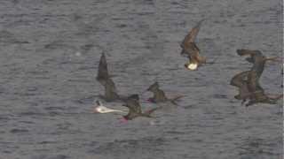Magnificent frigatebirds attack a tropicbird in the Galápagos .m4v