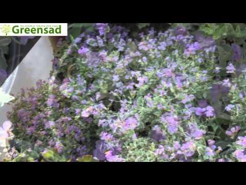 Обриета (фиолетовый)