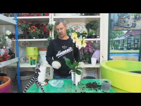 пересадка орхидеи Фаленопсис в кашпо с автополивом Lechuza Deltini