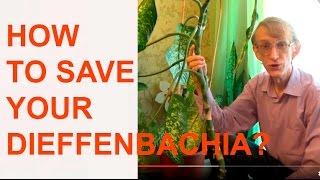 Dieffenbachia: How to Cut Stems & Propagate Plants?