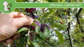 """Kirschpflaume - Früchte """"blauviolett"""" - 27.06.17 (Prunus cerasifera) - Bäume (Früchte) bestimmen"""