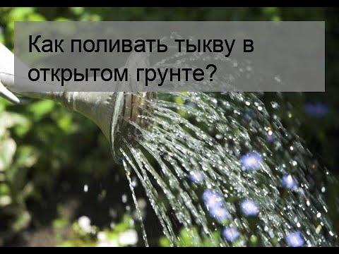 Как поливать тыкву в открытом грунте?