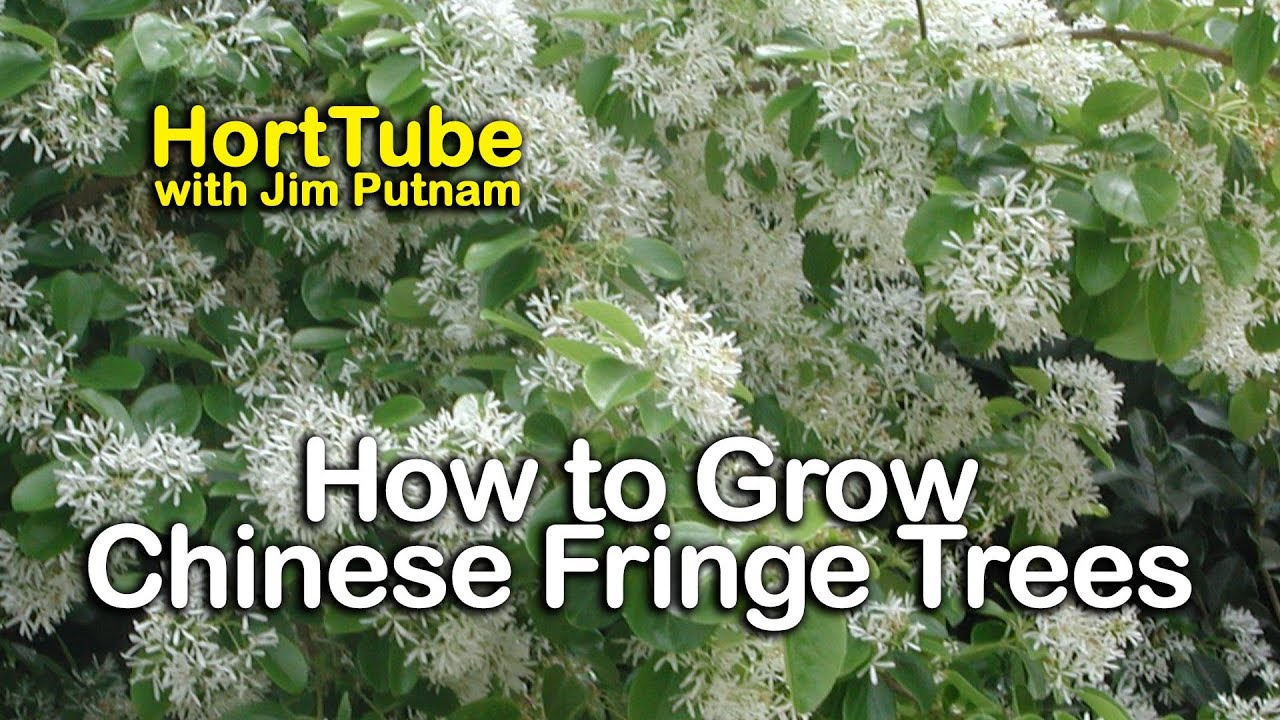 How To Grow Chinese Fringe Trees White Spring Flowering Tree
