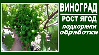 Чем подкормить виноград во время роста ягод  Обработка от болезней