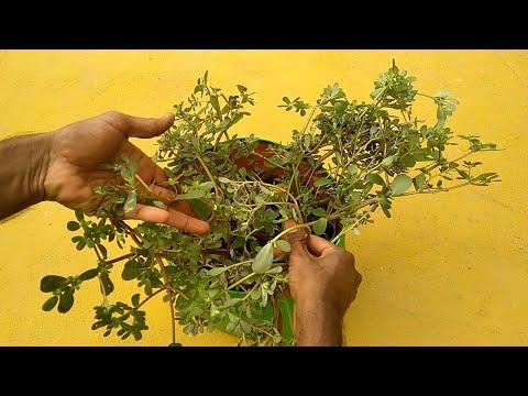 How to Grow Big Purslane Plant using Small Purslane weed | how to propagate Purslane Plant easy