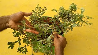 How to Grow Big Purslane Plant using Small Purslane weed | how to propagate Purslane Plant easy