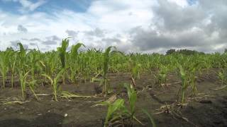 Rain spells likely disaster for Southeast Michigan crops