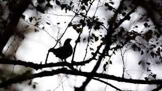 Рябчик поет в осеннем лесу. Карелия. 2015.