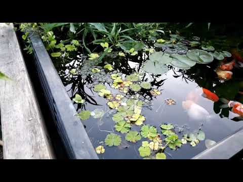 Goldfish Pond May 2020