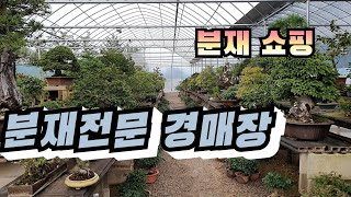 분재전문 경매장에서 분재쇼핑/분재가격 공개