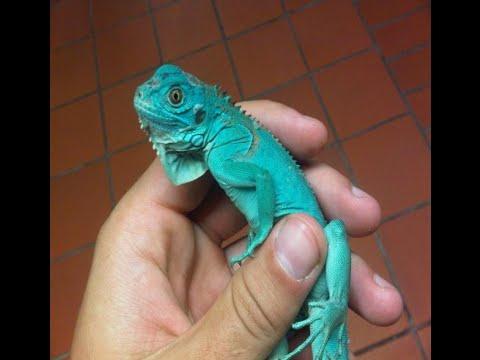 Blue Iguana For Sale : Cayman island blue iguana videos photos and facts cyclura