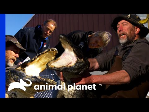 Dr. Jeff Amputates The Leg Of This Huge American Alligator!   Dr. Jeff: Rocky Mountain Vet