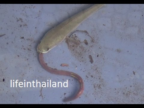 Baby snake head fish eating an earth worm.
