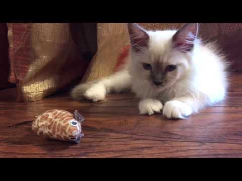Two weeks with us - ragdoll kitten - who is better than a puppy!