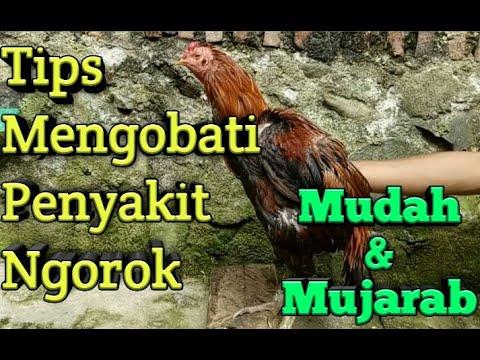 Www Cara Mengobati Ayam Bangkok Ngorok