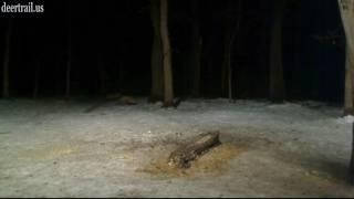 Two Red Fox Were Around Last Night  (1 22 17)