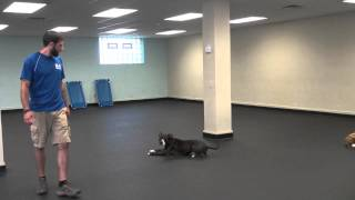 Shelly's Remote Collar Dog Training Progress | K9 Connection