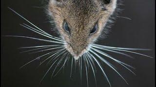 Мышка длиной в 35 сантиметров