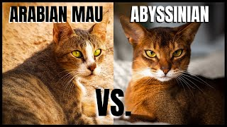 Arabian Mau Cat VS. Abyssinian Cat