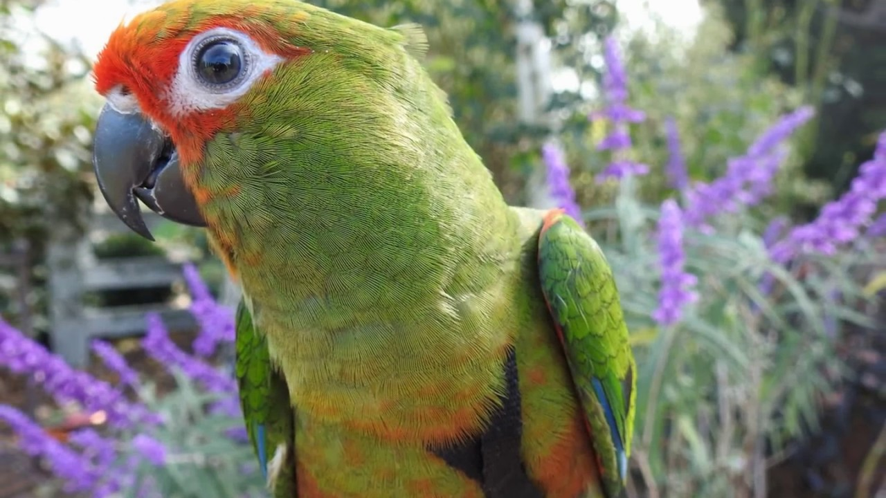 Golden Capped Conure