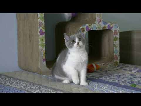 British kitten Space