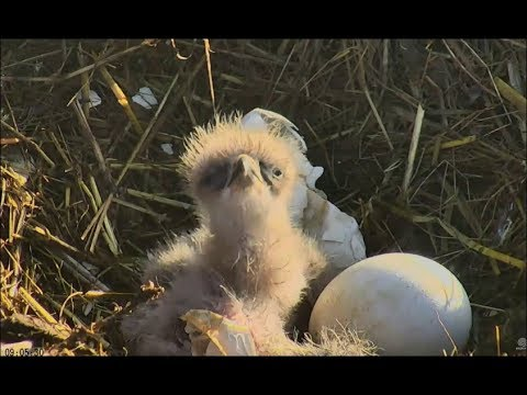 Sauces Channel Islands Eagle Cam ~ 2nd...