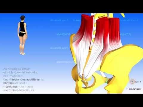 Les muscles postérieurs du tronc