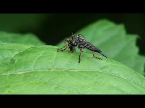 Robber Fly (Asilidae: Promachus) with Pedilid Beetle