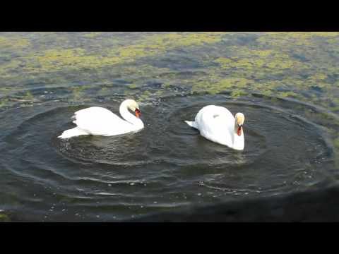 La danza dei cigni innamorati - Swan love dance -  Brussa Valle Vecchia Caorle - Portogruaro