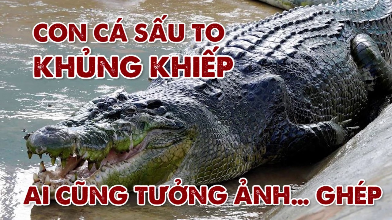 Con cá sấu KHỔNG LỒ đến nỗi ai nhìn cũng tưởng ảnh… GHÉP | Vui Độc Lạ