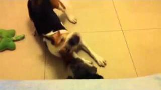 17kg Beagle Noopy Playing With 3.5kg Mini Poodle - 2