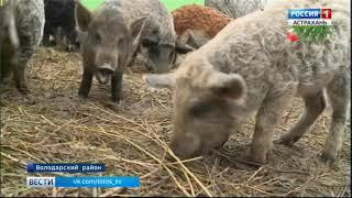 В Астраханской области выращивают одомашненных диких кабанов редкой породы