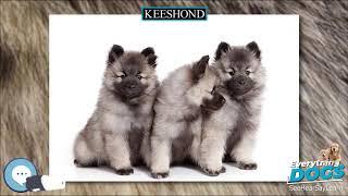 Keeshond  Everything Dog Breeds