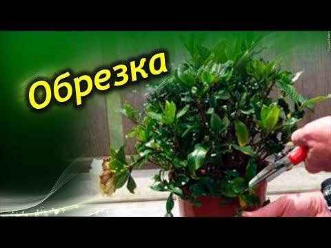 Как подрезать азалию после цветения видео